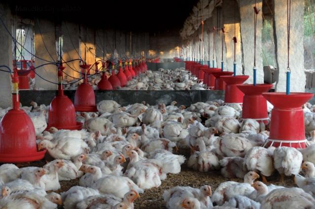 170309-chicken-farmers-1.jpg