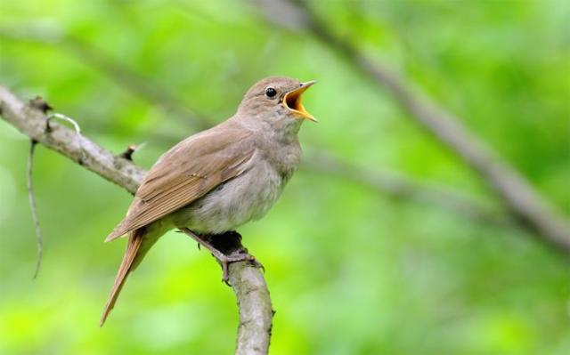 SIERRA Songbirds WB.jpg