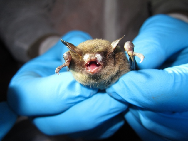 SIERRA Good News for Bats scientists handling WB.jpg